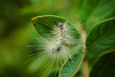 Fuzzy white caterpillar on green leaves