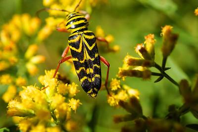 Yellow and black bug on goldenrod