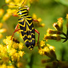 Yellow and black bug on goldenrod