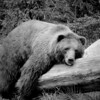 Brutus or Buckeye the bear from the Columbus Zoo taking a rest