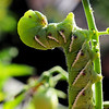 Tomato hornworm macro