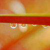 Raindrops on twig in orange tones