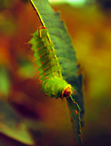 Luna moth caterpillar on green leaves