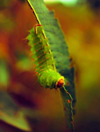 Luna moth caterpillar on green leaves