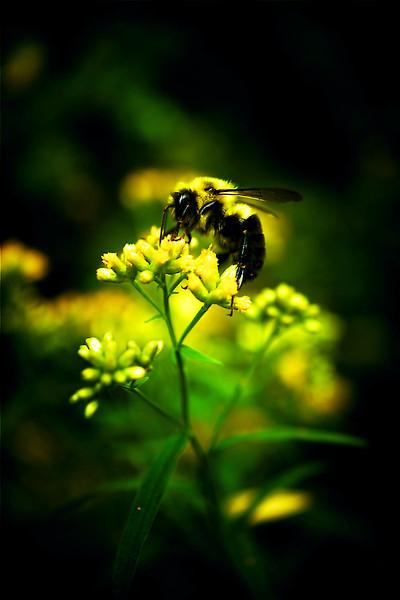 Bee on goldenrod edit
