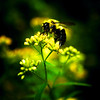 Bee on goldenrod edit