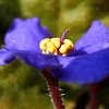African violet macro