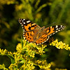 Butterfly on goldenrod