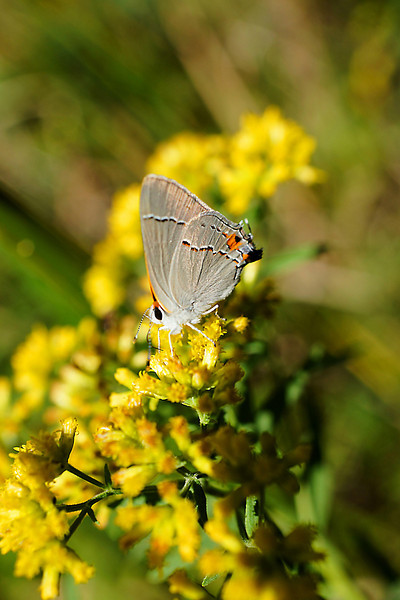 Small butterfly on yellow goldenrod