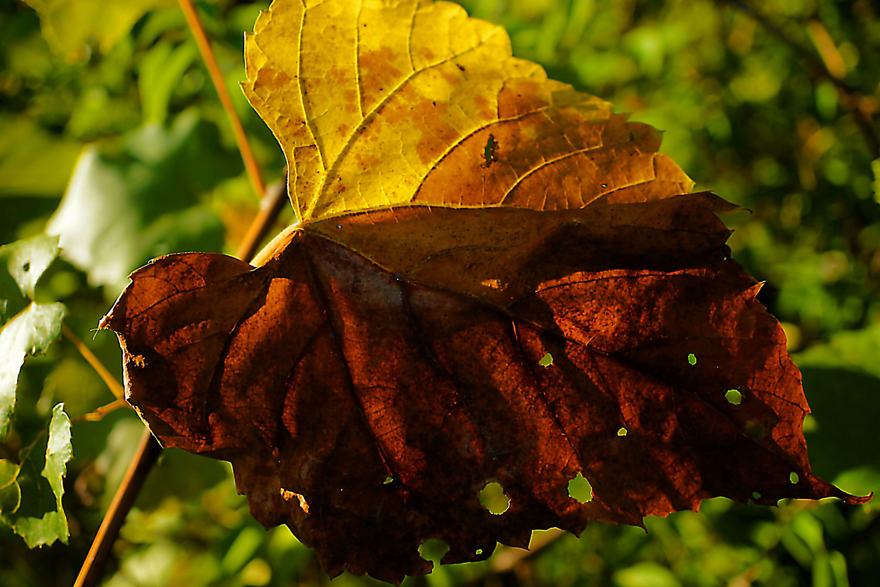 Grape leaf that is turning color as Fall approaches.