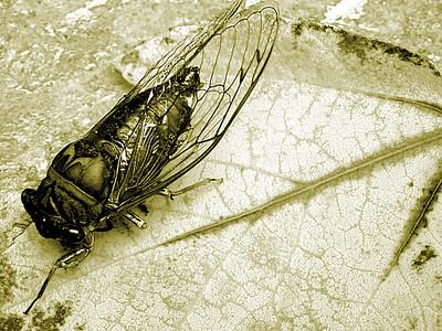 Cicada on leaf in monochrome