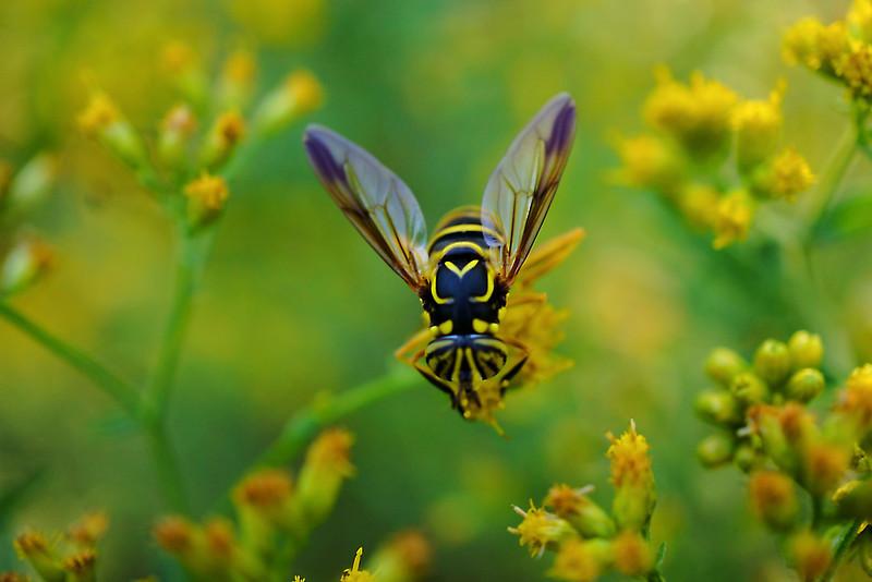 Yellow bee on goldenrod