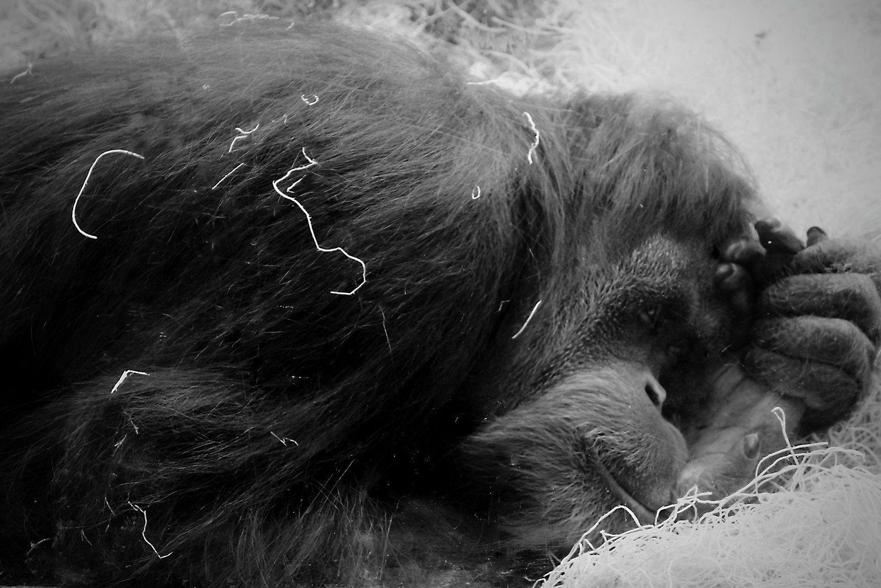 Orangutan from the Columbus, Ohio Zoo resting on the otherside of the glass.