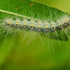 Fuzzy white, yellow and black caterpillar on a green leaf