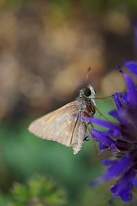 Moth on lavender flower