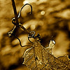 Hanging weathered grape leaf and vine in sepia
