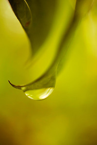 Raindrop  on green leaves edit in yellow tones