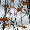 Maple Leaves    (cropped 8x10)
