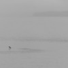 Salmon jumps near Eagle Beach, Alaska