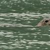 Harbor seal near Sawyer Glacier, Alaska
