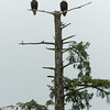 Eagles near Herring Cove, Ketchikan, Alaska