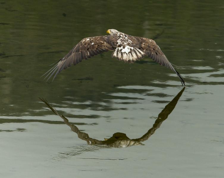 Eagles near Herring Cove, Ketchikan, Alaska