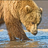 "The Alaska grizzly is generally referred to as ""brown bear"" when it lives along the Alaska coastline. Their main food sources are grass, berries, clams and salmon."