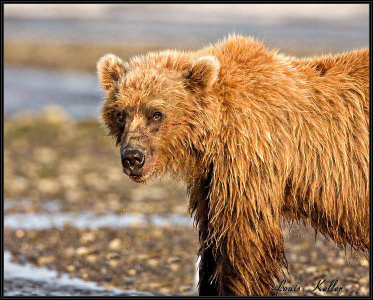 """The Alaska grizzly is generally referred to as """"brown bear"""" when it lives along the Alaska coastline. Their main food sources are grass, berries, clams and salmon."""