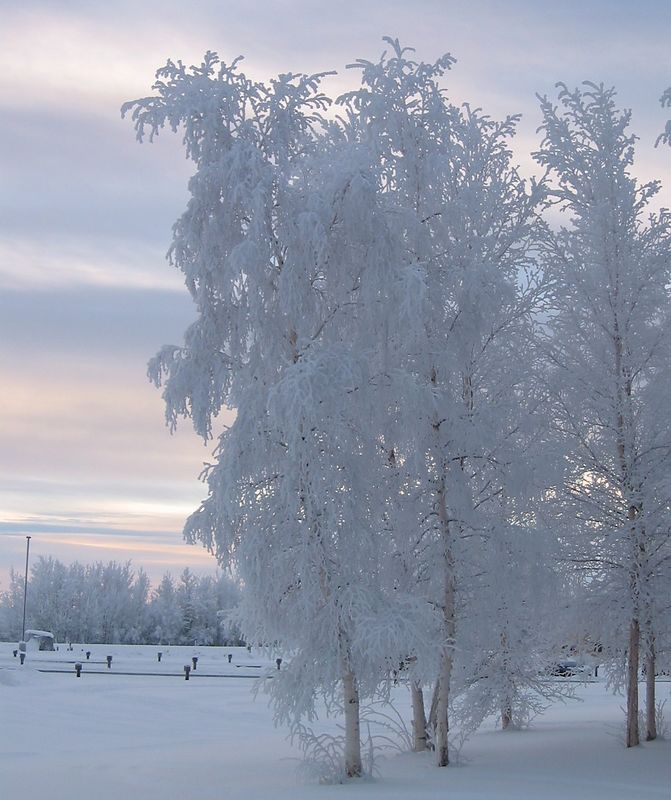 Hoar Frost Trees on Clear