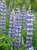 Lupins along Turnagain Arm