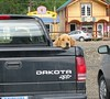 Yellow retriever in Denali village