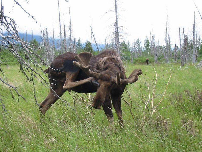 Moose calisthenics at Big Game Alaska