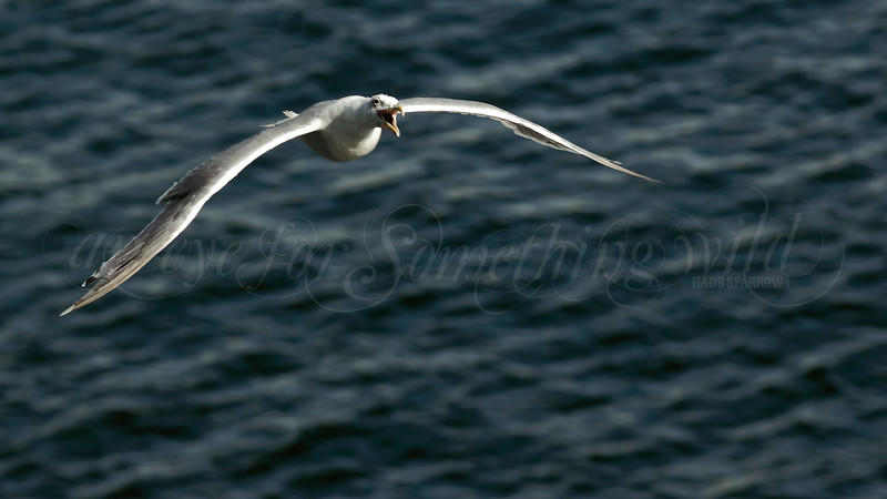 Glaucous-winged Gull (Canada)