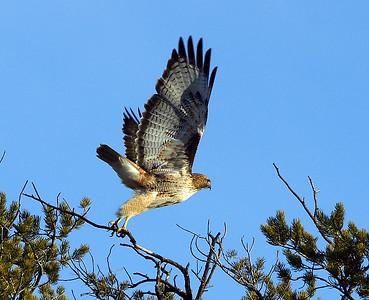 Red Tail Hawk, Az