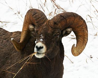 Rocky Mountain Bighorn Sheep 7, Big Sky, Montana
