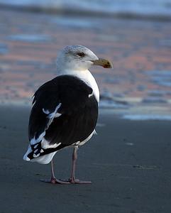 Great Black Backed Gull, Myrtle Beach, SC