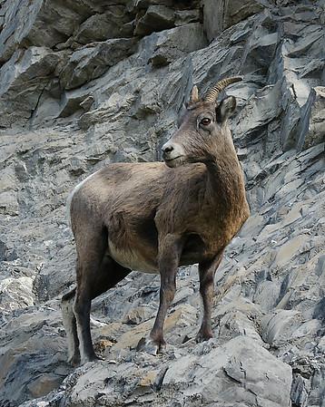 Bighorn Sheep Ewe, Jasper National Park, Alberta