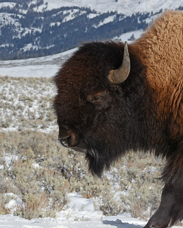 Bison 4, Yellowstone National Park