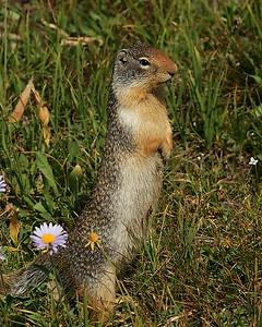 Columbia Ground Squirrel, Glacier National Park, Mt