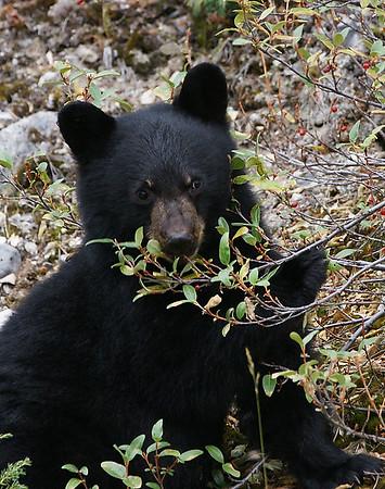 Black Bear Cub 1, Portrait, Jasper NP, Alberta