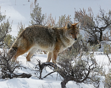 Coyote 1, Yellowstone National Park