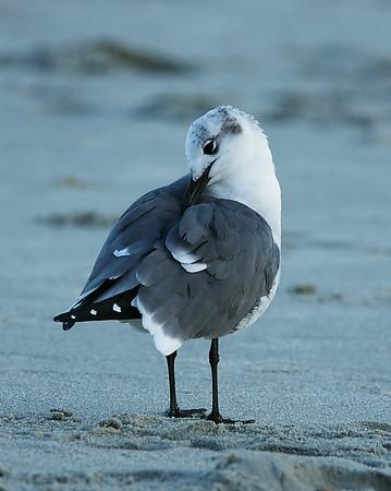 Gull 1, Myrtle Beach, SC