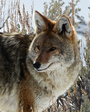 Coyote 3, Yellowstone National Park