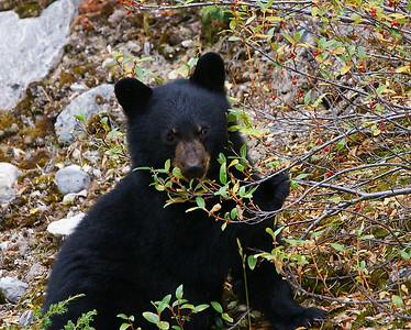 Black Bear Cub 1, Jasper National Park, Alberta