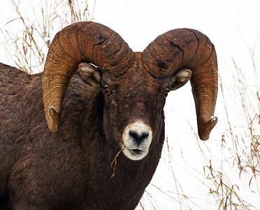 Rocky Mountain Bighorn Sheep 8, Big Sky, Montana