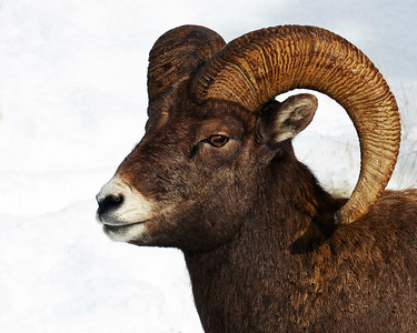 Rocky Mountain Bighorn Sheep 1, Big Sky, Montana