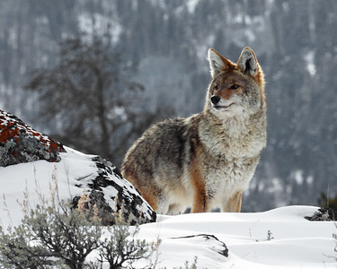 Coyote 2, Yellowstone National Park