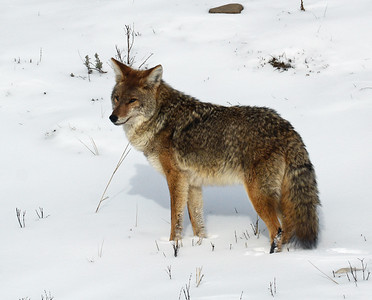 Coyote 4, Yellowstone National Park