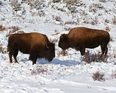 Bison 6, Yellowstone National Park