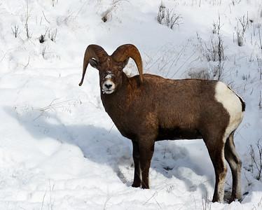Rocky Mountain Bighorn Sheep 3, Big Sky, Montana
